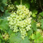 Trebbiano d'Abruzzo (ph http://catalogoviti.politicheagricole.it)